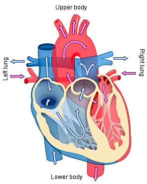 Blood flow diagram of the human heart. Blue components indicate de-oxygenated blood pathways and red components indicate oxygenated pathways.